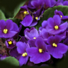 violet pictures