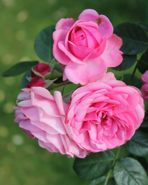 HD Rose Picture