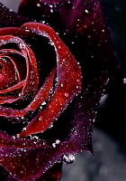 Red Roses Tumblr Background (1)