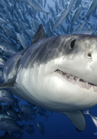 WHİTE SHARK WALLPAPER PHOTOS