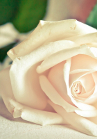 White Rose HD Wallpapers – hd wallpapers n
