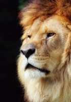 lion head hd pictures