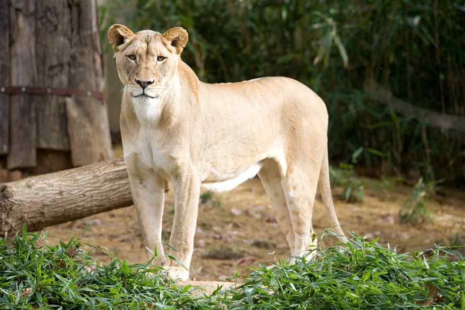 Hd-female-lion-3 jpg | HD Wallpapers, HD images, HD Pictures