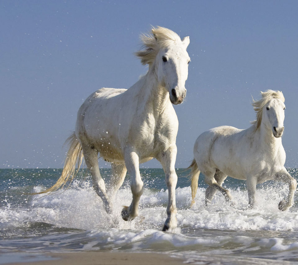 White Horse 14 Hd Wallpapers Hd Images Hd Pictures
