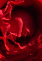 Red Roses Tumblr Background-20