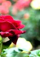 Red Roses Tumblr Background-33