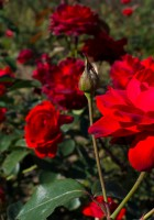 Red Roses Tumblr Background-37