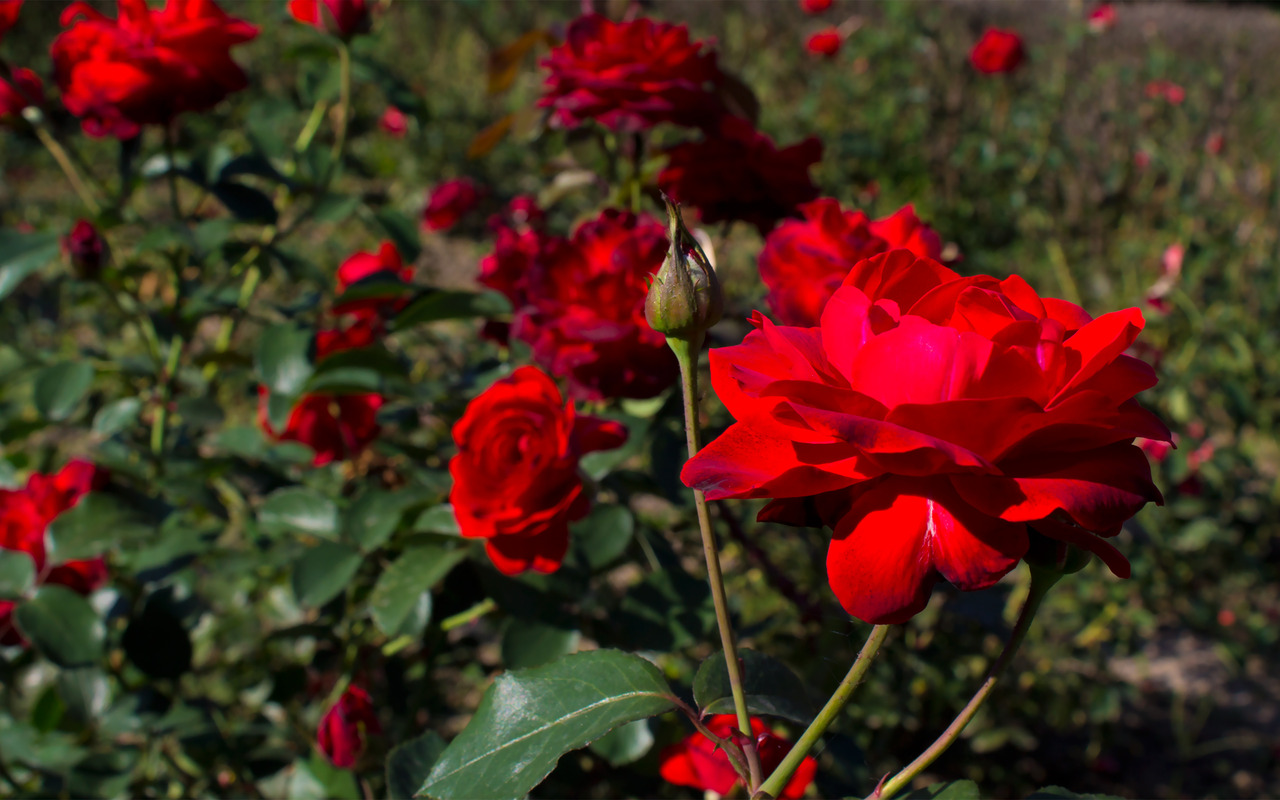 Red Roses Tumblr Background-37 | HD Wallpapers, HD images ...