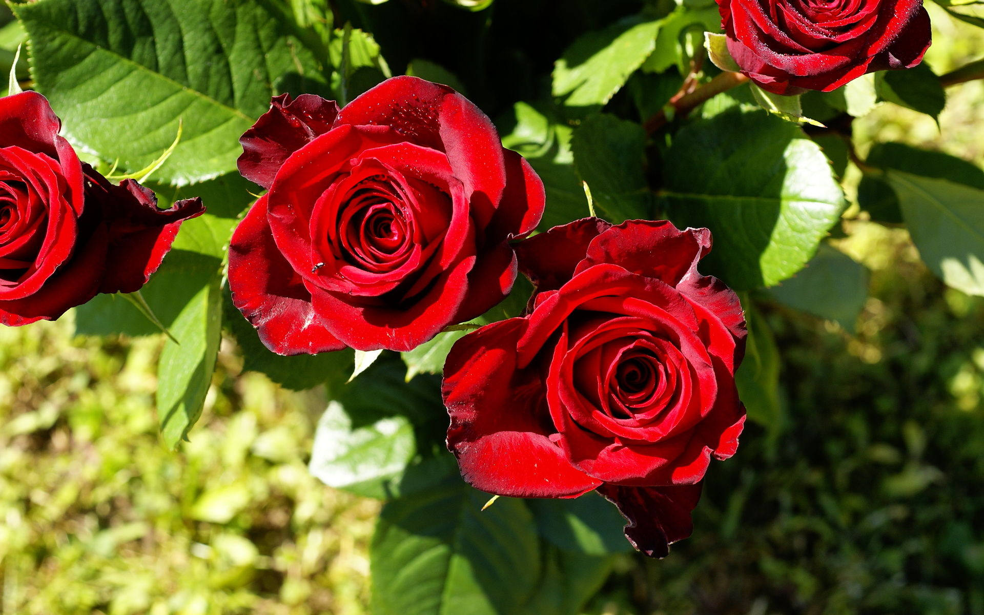 Red Roses Tumblr Background 5 Hd Wallpapers Hd Images Hd Pictures
