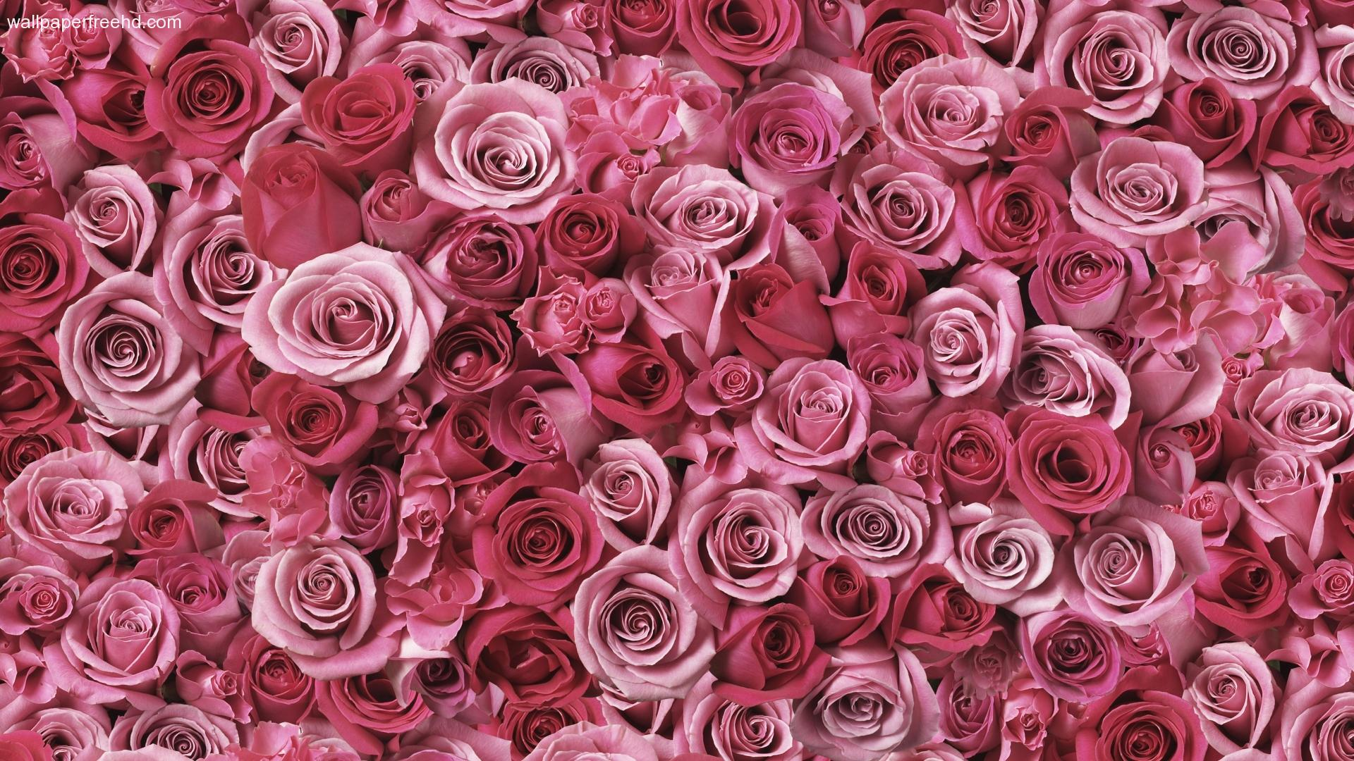 Pink Roses Free Hd Desktop Backgrounds Hd Wallpapers Hd Images
