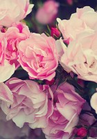 rose backgrounds tumblr 1