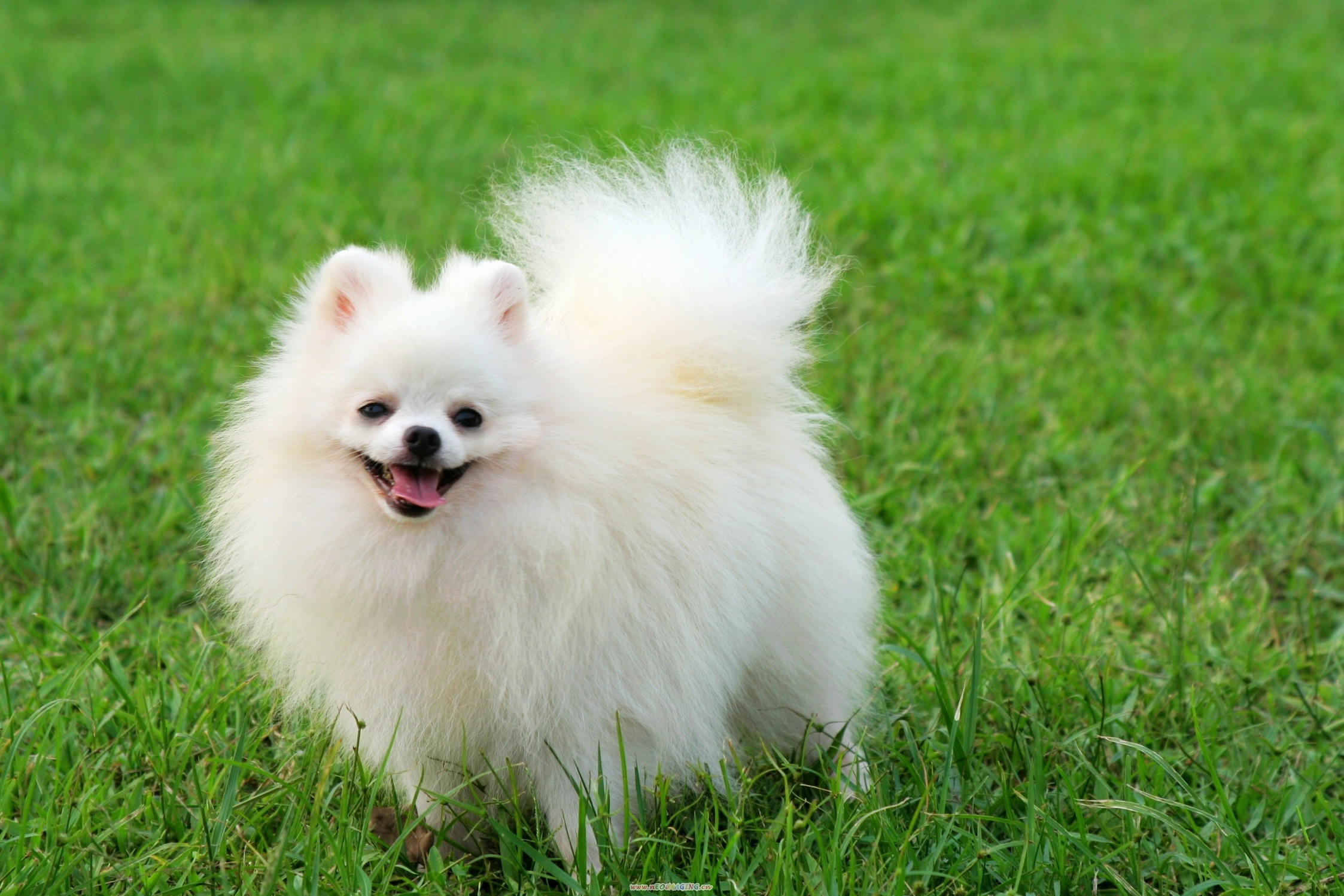 Cute Pomeranian Dog 8 Jpg Hd Wallpapers Hd Images Hd Pictures