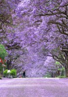 jacaranda trees in bloom south africa