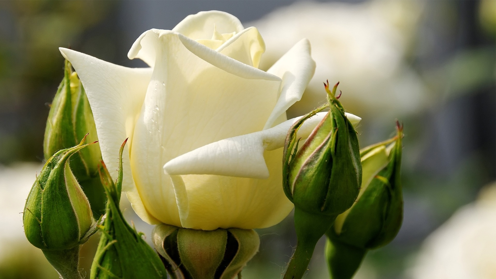 White Rose HD Wallpapers6