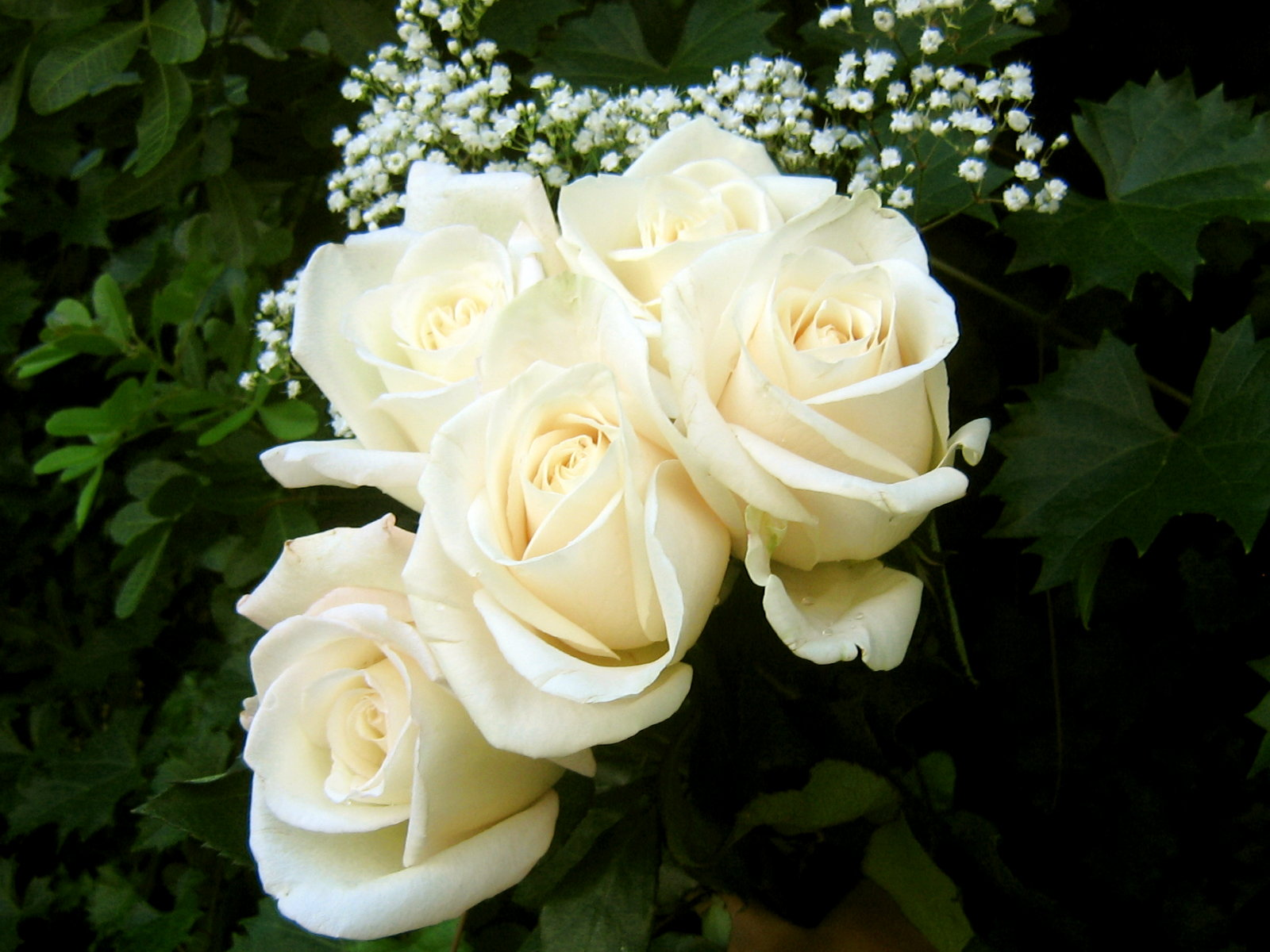 White Rose HD Wallpapers7