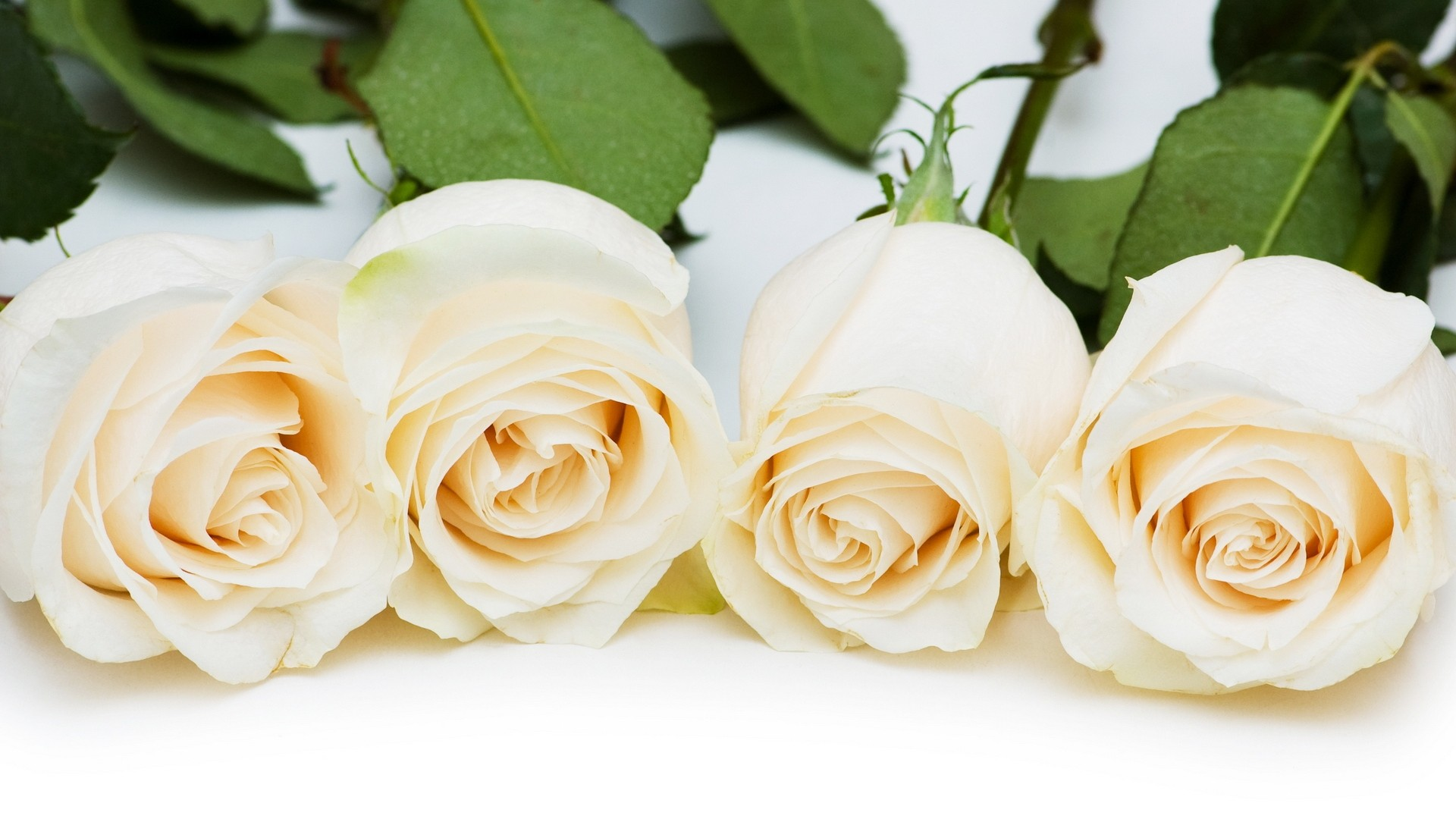 White Rose HD Wallpapers8