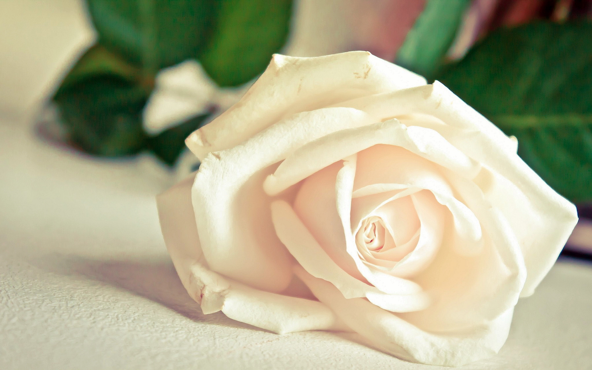 White Rose HD Wallpapers9