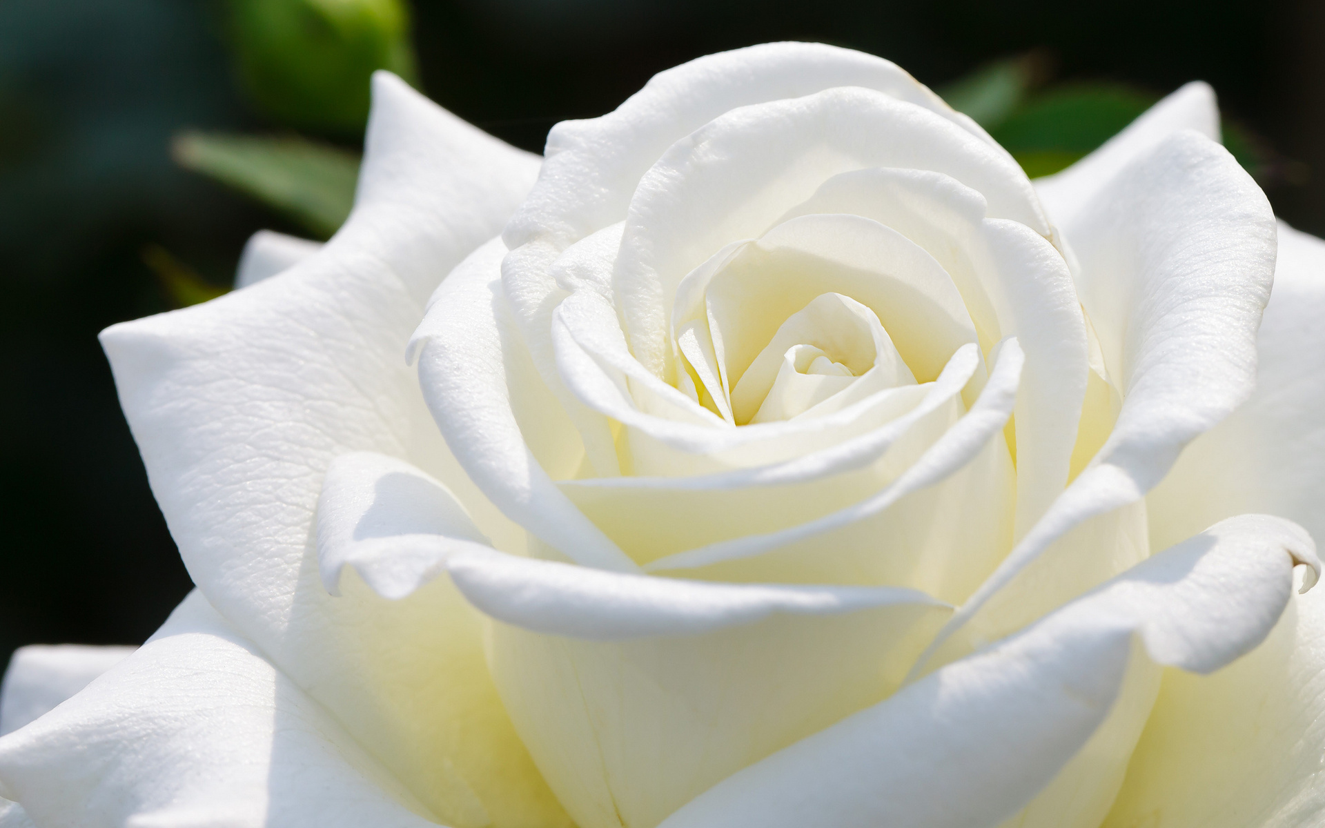 White Rose HD Wallpapers3