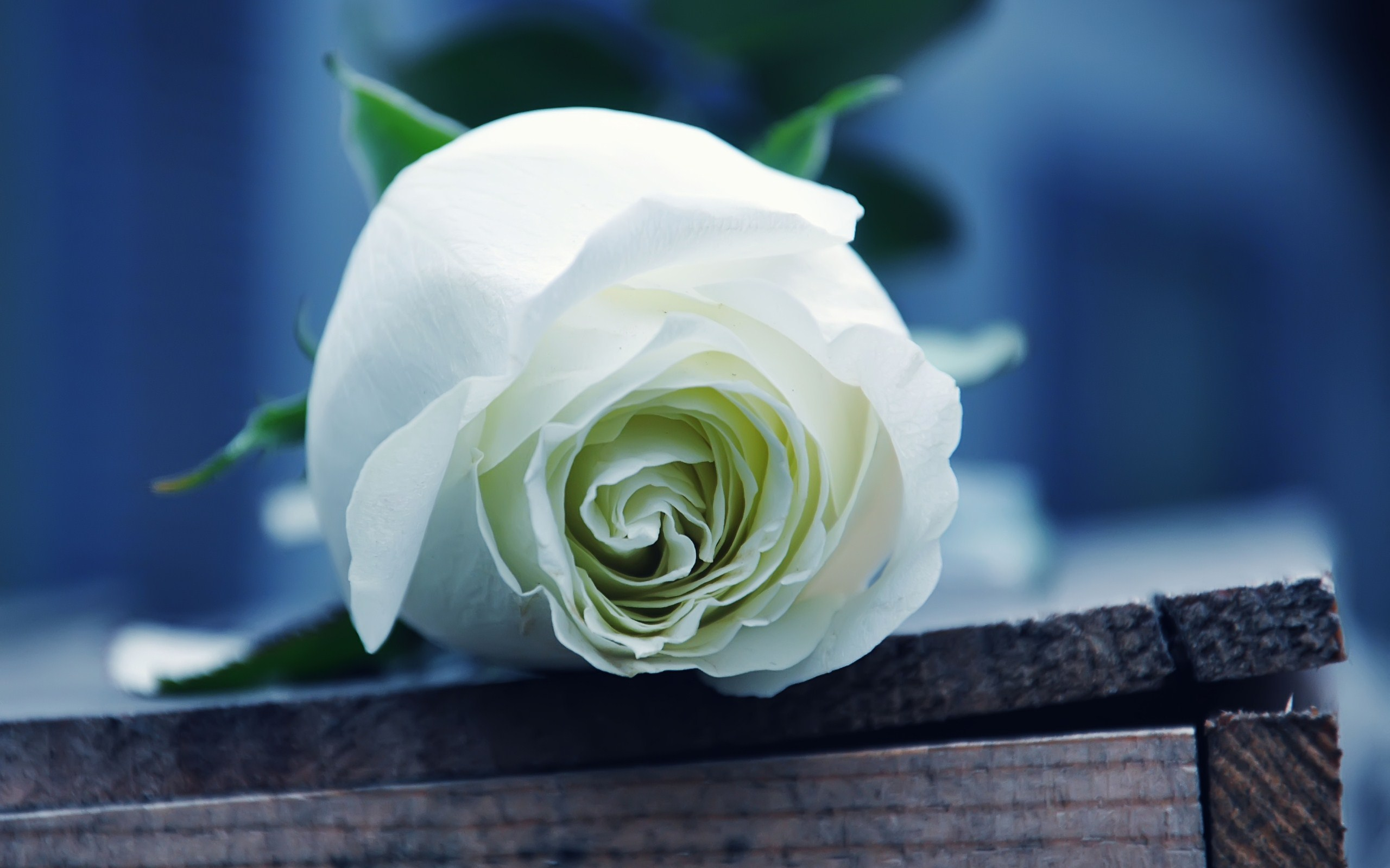 White Rose HD Wallpapers4