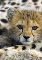 Cheetah-animal-pictures-4.jpg