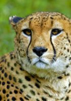 Cheetah-animal-pictures-5.jpg