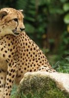 Cheetah-animal-pictures-6.jpg