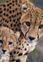 Cheetah-animal-pictures-7.jpg