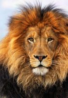 Lion-head-hd-pictures-1.jpg
