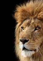 Lion-head-hd-pictures-5.jpg