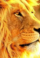 Lion-head-hd-pictures-7.jpg